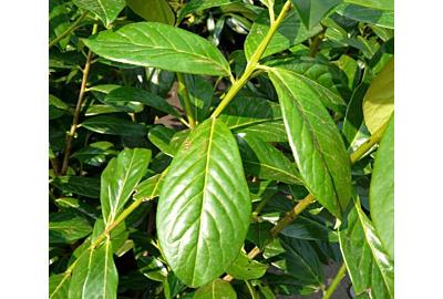Wat is het verschil tussen de laurier Novita en Rotundifolia?