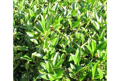 Dit zijn de mooiste haagplanten voor de komende lente