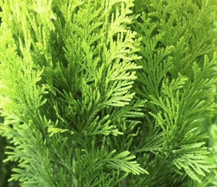 Coniferen planten, wanneer kan dat?