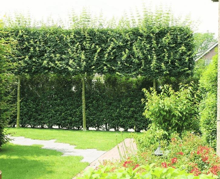 Groenblijvende bomen voor kleine tuin