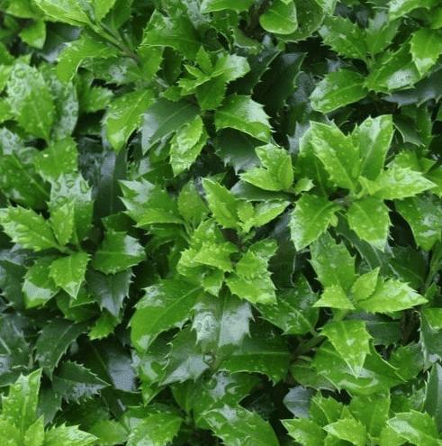 Vaste planten die groenblijvend zijn