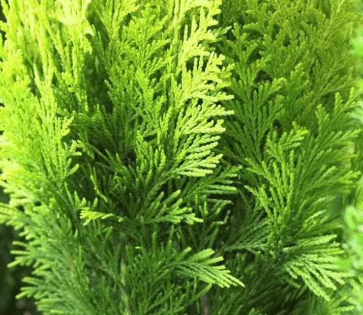 Hoeveel Coniferen per meter planten?