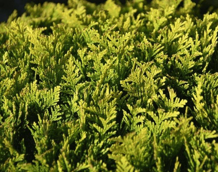 Smalle wintergroene haag