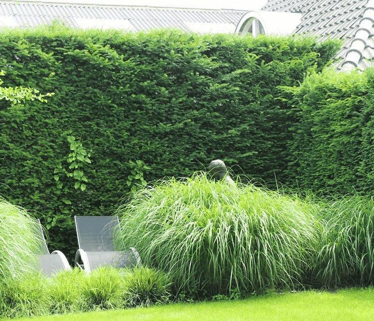 Wanneer mag ik een Taxus Baccata planten?