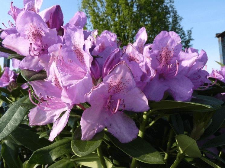 Verzorging van de Rhododendron
