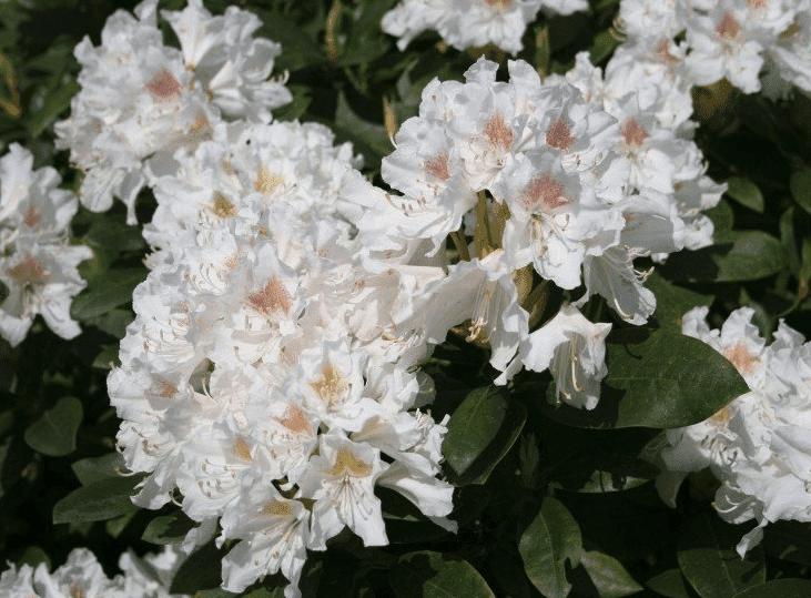 Wanneer Rhododendron snoeien?
