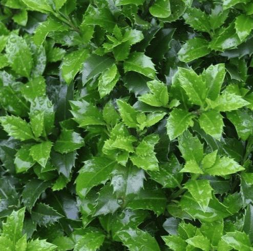 Welke haag kan ik planten?