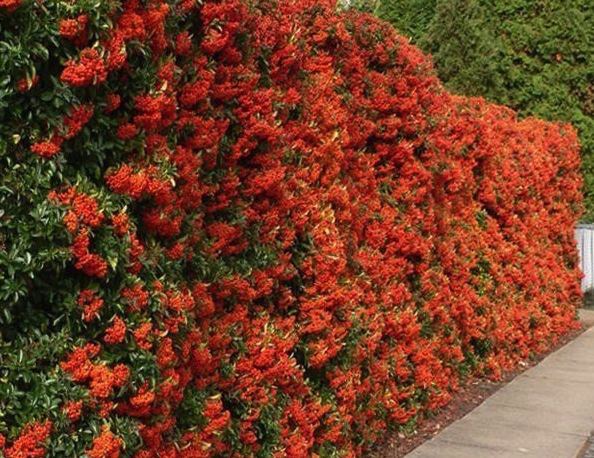 Winterharde struiken met bloemen