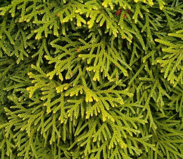 De levensboom Smaragd als haag in uw tuin