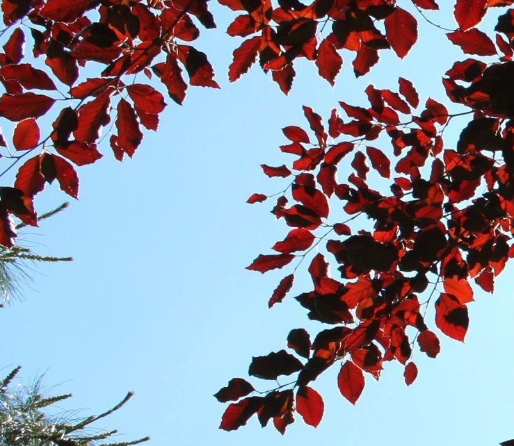 Een struik met rood blad in uw tuin