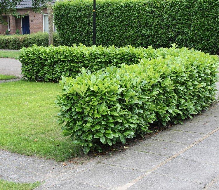 Welke planten zijn geschikt als tuin omheining