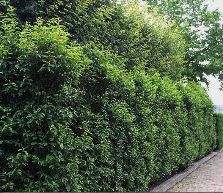 Beschutting in de tuin: een snelgroeiende haag