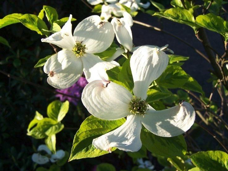 Mooi voor in de tuin: struiken met bloemen