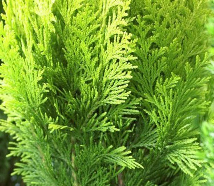 Welke vaste planten zijn groenblijvend?