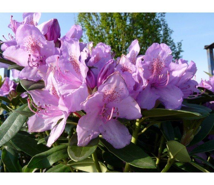 Welke vaste planten in de voortuin zijn wintergroen?