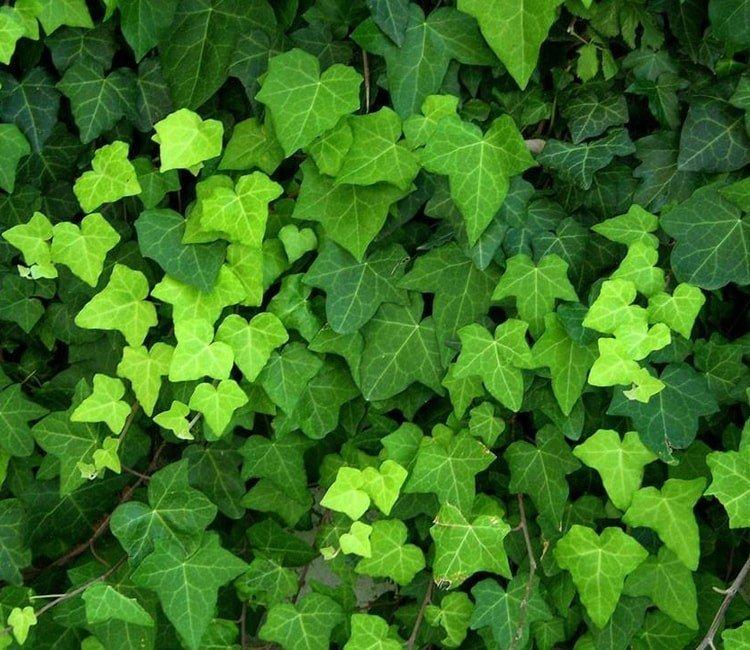 Groen tijdens de winter: winterharde groenblijvende klimplanten