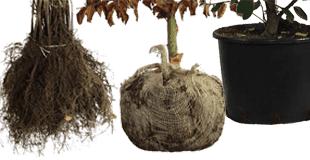 Wortelsoorten Haagplanten
