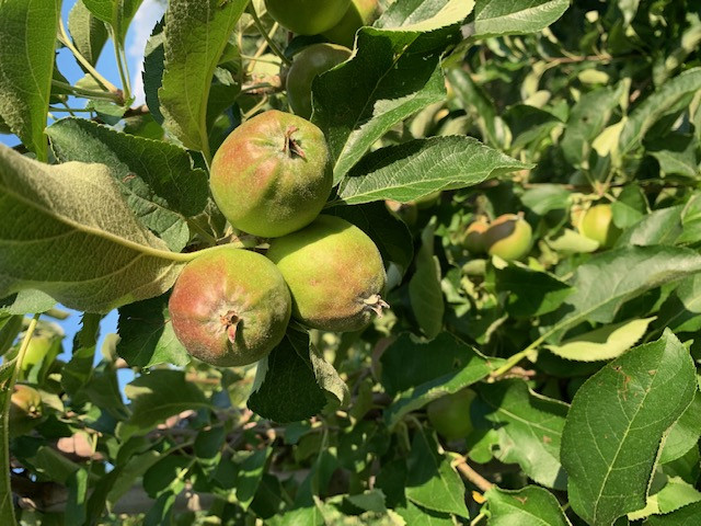Zelf appels kweken: hoe pakt u het aan?