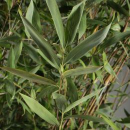 Bamboe fargesia 'Jumbo'