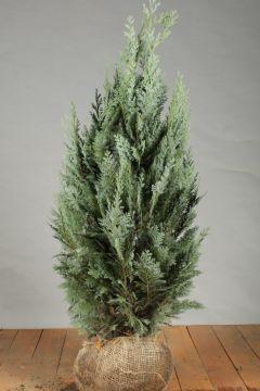 Blauwe Californische Cipres Kluit 80-100 cm Extra kwaliteit