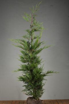 Leylandii coniferen Kluit 175-200 cm