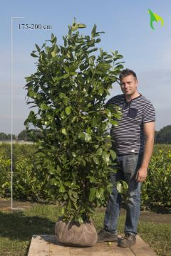 Laurier 'Rotundifolia' Kluit 175-200 cm Extra kwaliteit