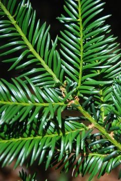 Taxus 'Baccata'