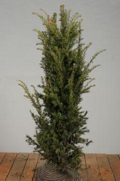 Taxus Baccata Kluit 125-150 cm Extra kwaliteit
