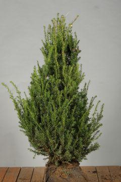 Taxus Baccata Kluit 60-80 cm Extra kwaliteit