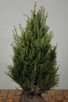 Taxus Baccata Kluit 80-100 cm Extra kwaliteit
