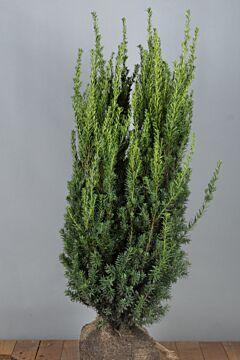 Taxus media 'Hilli' Kluit 100-125 cm Extra kwaliteit