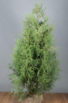 Levensboom 'Brabant' Kluit 125-150 cm Extra kwaliteit