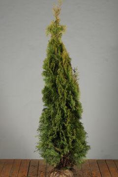 Levensboom 'Smaragd' Kluit 150-175 cm Extra kwaliteit