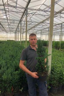 Taxus media 'Hilli' Pot 60-80 cm Pot