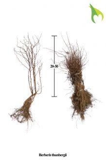 Zuurbes Blote wortel 20-30 cm Blote wortel