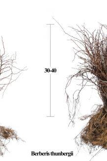 Zuurbes Blote wortel 30-40 cm Blote wortel
