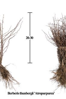 Rode Zuurbes Blote wortel 20-30 cm Blote wortel