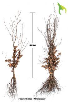Rode Beuk Blote wortel 80-100 cm Blote wortel