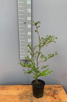 Rode Beuk Pot 40-60 cm Pot