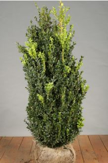 Buxus (palmboom) Kluit 80-100 cm Kluit
