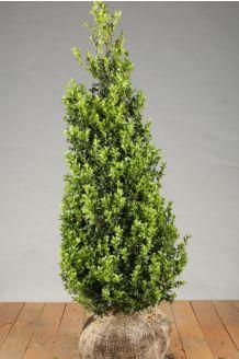 Buxus (palmboom) Kluit 100-125 cm Kluit