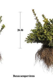 Buxus (palmboom) Blote wortel 20-30 cm Blote wortel