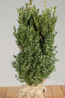 Buxus (palmboom) Kluit 50-60 cm Kluit