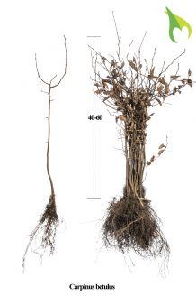 Haagbeuk Blote wortel 40-60 cm Blote wortel