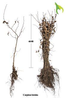 Haagbeuk Blote wortel 60-80 cm Blote wortel