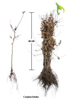 Haagbeuk Blote wortel 80-100 cm Blote wortel