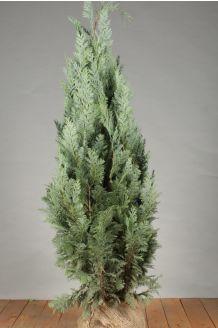Blauwe Californische Cipres (100-125 cm) Extra kwaliteit Kluit