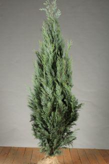 Blauwe Californische Cipres (125-150 cm) Extra kwaliteit Kluit