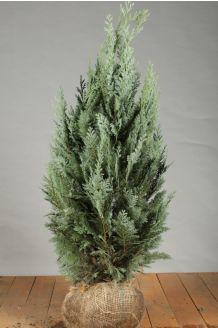 Blauwe Californische Cipres (80-100 cm) Extra kwaliteit Kluit
