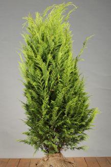 Gele Californische Cipres Kluit 100-125 cm Extra kwaliteit Kluit